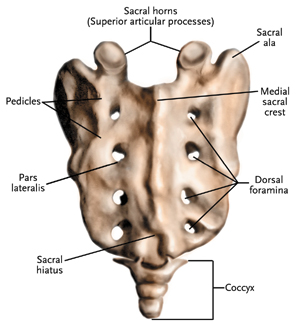 Sacrum and coccyx diagram